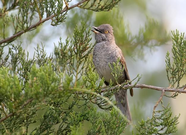 De gestreepte grasmus (sylvia nisoria) mannelijke zang