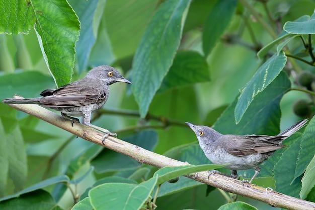 De gestreepte grasmus (sylvia nisoria) mannetje en vrouwtje beide aan de boom