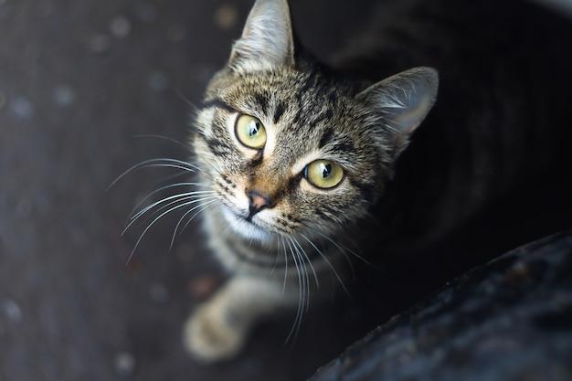 De gestreepte kat met groene ogen kijkt omhoog naar een camera
