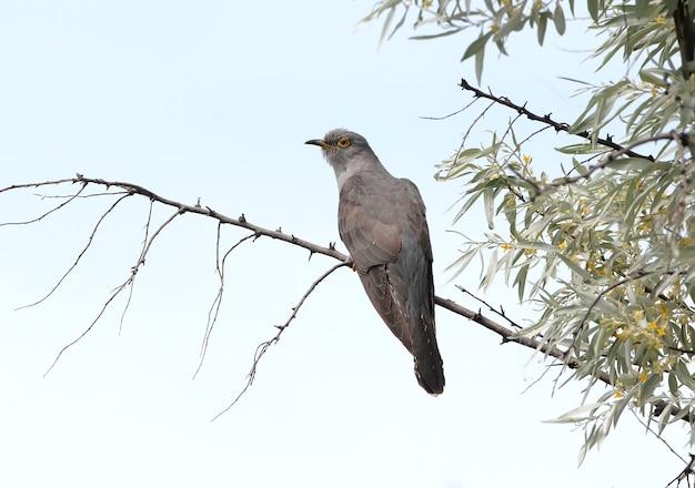 De gewone koekoek (canorus cuculus) zit op een tak tegen de blauwe hemel.