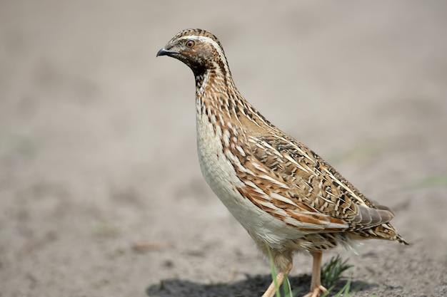De gewone kwartel (coturnix coturnix) of europese kwartel extra close-up portret. de identificatietekens van de vogel en de structuur van de veren zijn duidelijk zichtbaar.