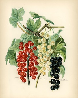 De gids van de vruchtenteler: vintage illustratie van zwarte napels, victoria, witte nederlandse