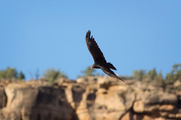 De gier van turkije vliegt over klippen in het amerikaanse zuidwesten