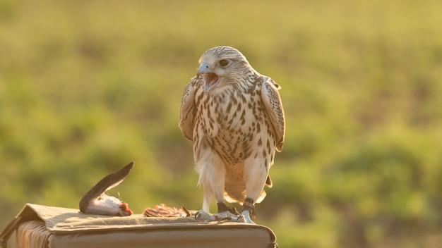 De giervalk is een roofvogel falco rusticolus, de grootste van de valkensoorten. Premium Foto