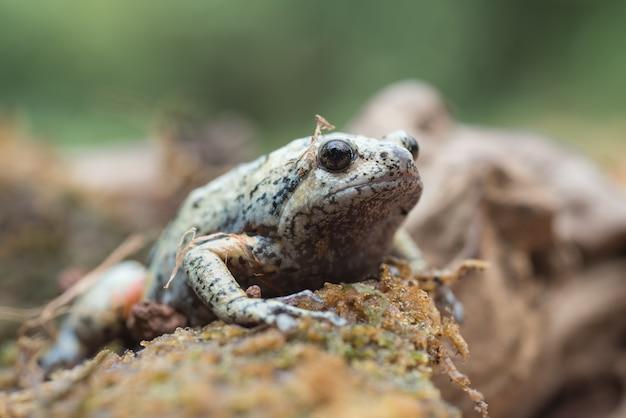 De gladde, smalle kikker kaloula baleata in het mos