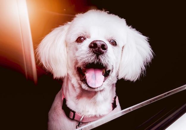 De glimlach van een oude hond die blij is tijdens het reizen