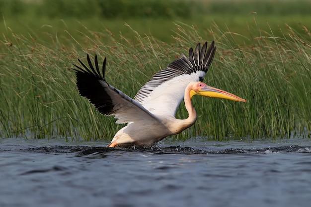 De goedgevoede pelikaan wordt tijdens het opstijgen zwaar uit het water getrokken