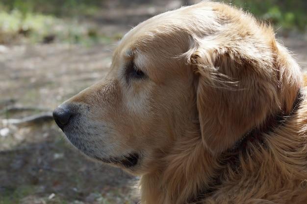 De golden retriever van het hondenras in profiel, zichtbare zwarte halsband, en op achtergrond vage aarde