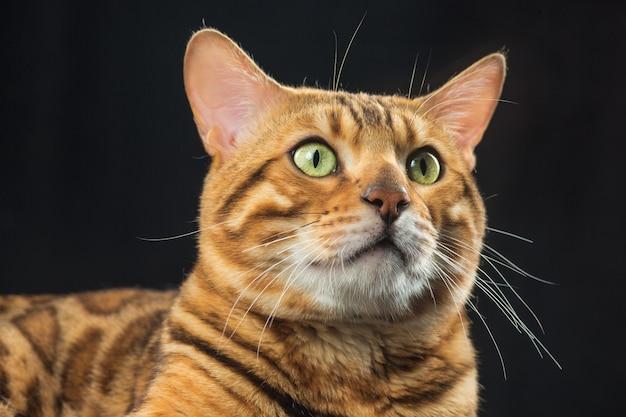 De gouden bengaalse kat op zwarte achtergrond
