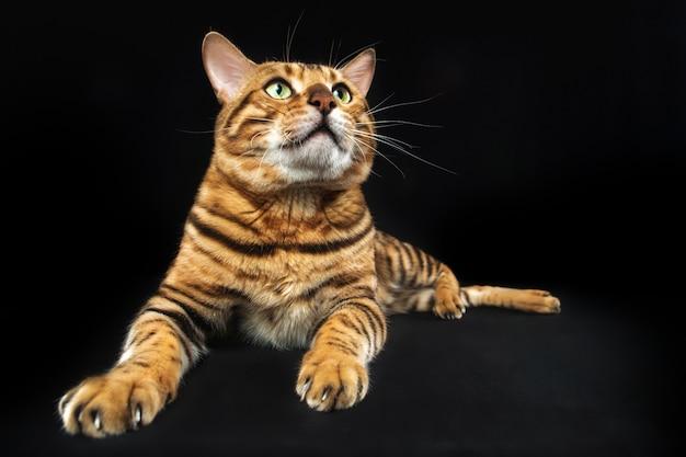 De gouden bengaalse kat op zwarte ruimte