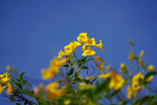 De gouden boom van de trompetbloem en groene bladeren op lichte duidelijke blauwe hemelachtergrond.