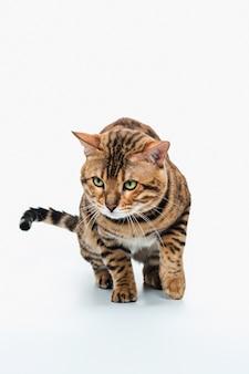 De gouden kat van bengalen op witte achtergrond