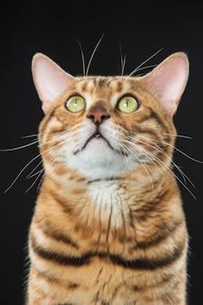De gouden kat van bengalen op zwarte achtergrond