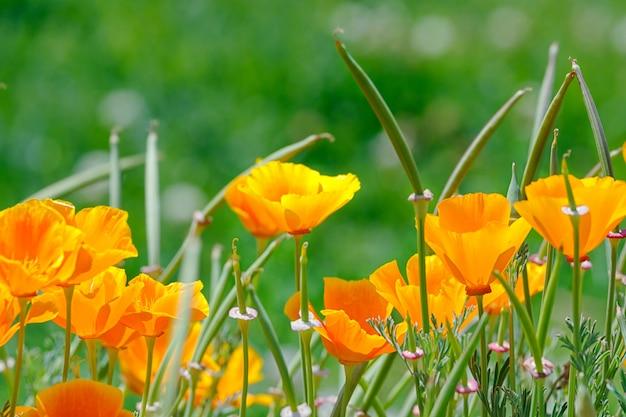 De gouden papavers van californië in de tuin