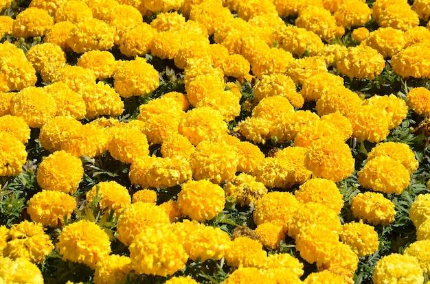 De goudsbloem bloeit aardachtergrond in de weide onder zonlicht