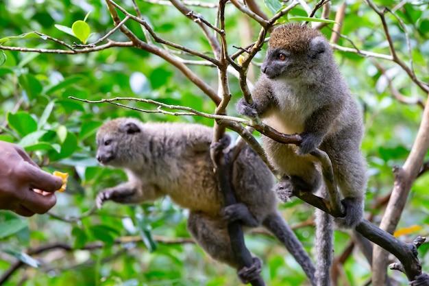 De grappige bamboemaki's op een boomtak kijken naar de bezoekers