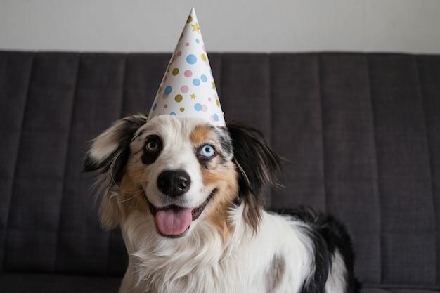 De grappige leuke hond die van de australische herder blauwe merle partijhoed draagt. fijne verjaardag.
