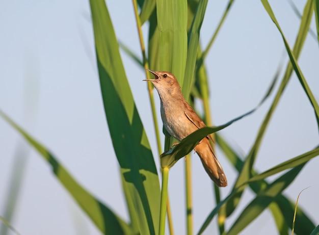 De grasmus van een eenzame savi (locustella luscinioides) zingt van dichtbij in het zachte ochtendlicht.
