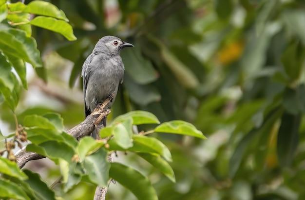 De grauwe drongo die op boomstam neerstrijkt