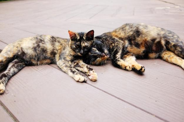 De grijze gestreepte paarkatten genieten van en slaperig op houten vloer in tuin met natuurlijk zonlicht