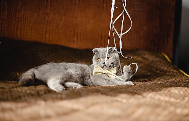 De grijze kat in een vlinderdas op bank knaagt aan lint