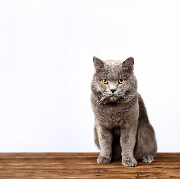 De grijze kat op een witte achtergrond, schotse rechte kat kijkt in camera