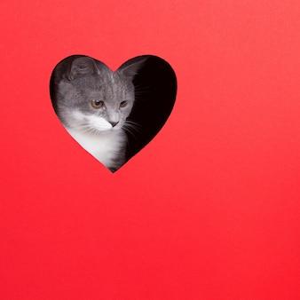 De grijze kat piept uit gat in de vorm van een hart op een rode achtergrond. valentijnsdag concept