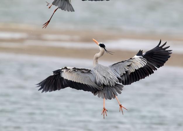 De grijze reiger achtervolgt een andere vogel in de lucht