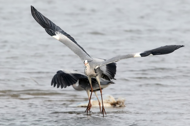 De grijze reiger springt over een andere reiger boven het water