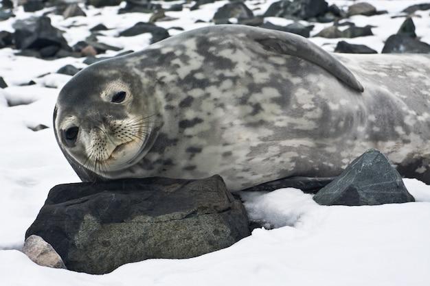 De grijze zeehond
