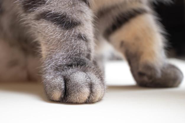 De grijze zwarte gestreepte kattenbenen sluiten omhoog. het concept van huisdieren, dierenverzorging, diergeneeskunde.