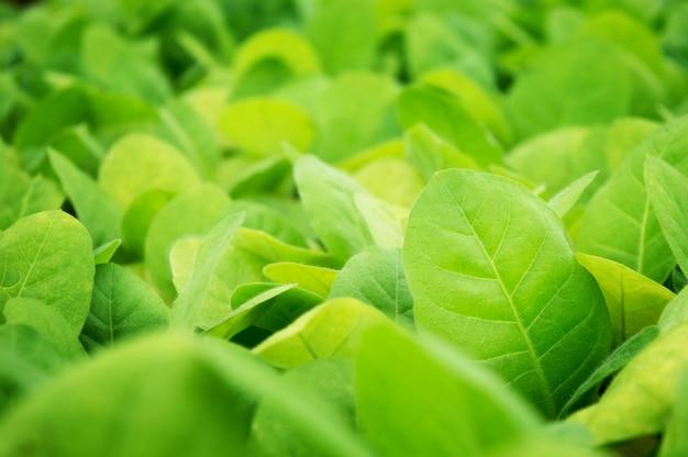 De groei van tabakszaailingen plant tabak aan het seizoen