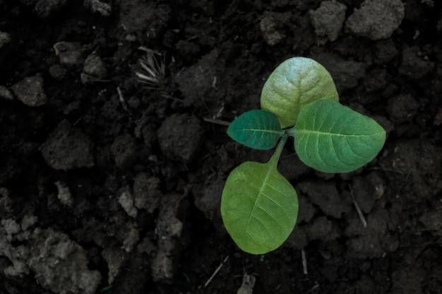 De groeiperiode van tabakszaailingen verbouwen tabak.