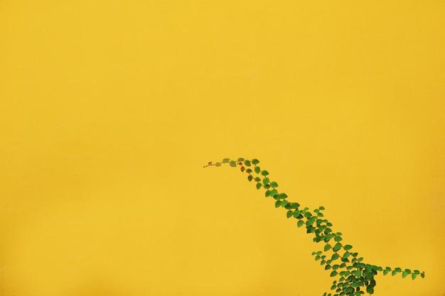 De groene bladeren van coatbuttons-aardwijnstok beklimmen op de muur in tuin
