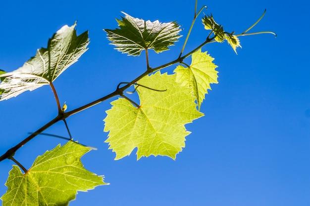 De groene bladeren van de wijnstokdruif in de zomer sluiten omhoog