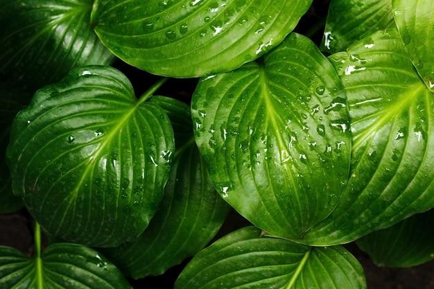 De groene bladeren van hosta in de zomer na regen groen levensconcept