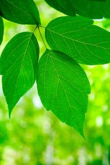 De groene bladeren van linden