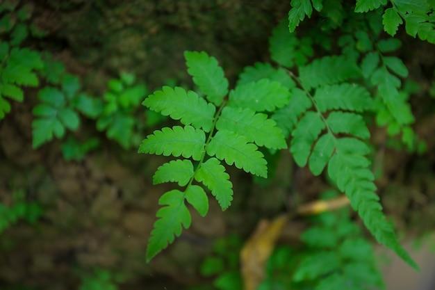 De groene bladeren van varens of varenblad zijn niet-bloeiende planten en reproduceren zich door sporen. het kan groeien in tropisch gebied.