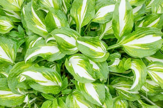 De groene en witte weelderige achtergrond van de bladtextuur. hosta plant natuurlijk bladerenpatroon met dauwdruppels. bladeren na regen. regendruppels. mysterieuze achtergrond, hostabladeren