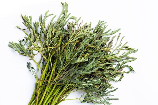 De groene groenten van de watermimosa op wit