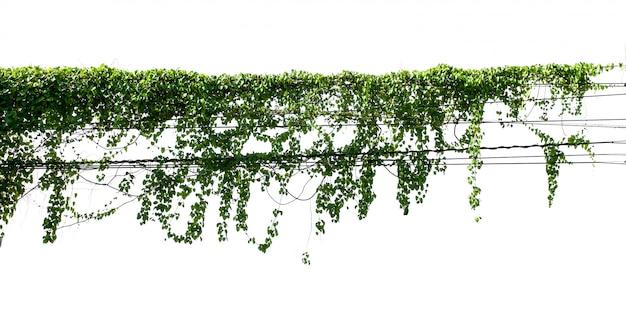 De groene installatie van de bladklimop isoleert op wit