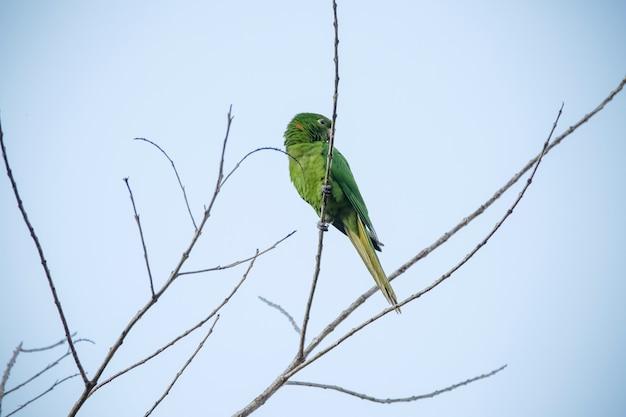 De groene maitaca in de boom met de blauwe lucht in het mooie zomerse landschap