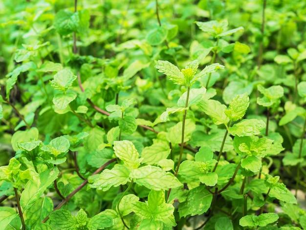 De groene plantaardige organische kruiden van pepermuntbomen met muntboominstallaties in tuin.