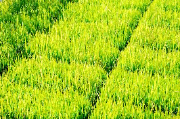 De groene rijstboom op het gebied en de vage achtergrond