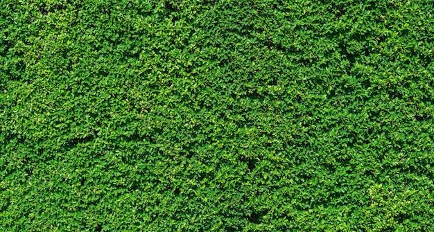 De groene textuur van de bladerenmuur voor achtergrondontwerp, aardachtergrond.