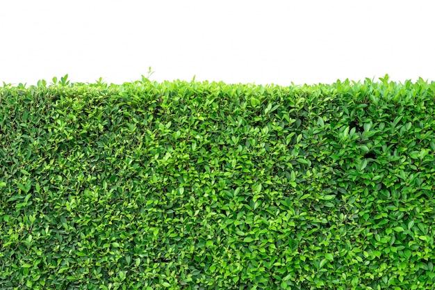 De groene textuur van de bladerenmuur voor achtergrondontwerp en witte ruimte, aardachtergrond.