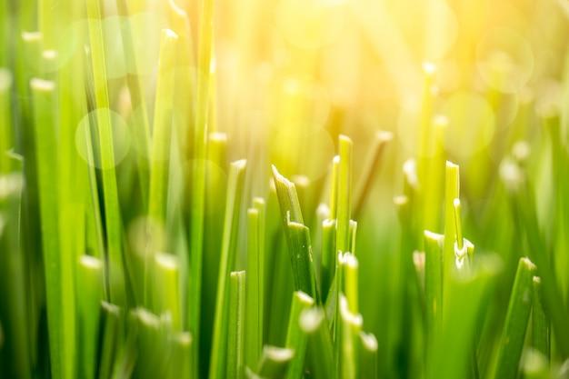 De groene weide van het grasgebied voor achtergrond met de macro van de zonclose-up