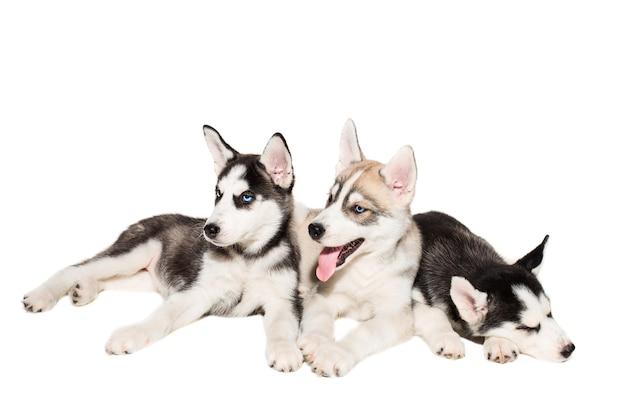 De groep puppy kweekt huskies die op witte achtergrond worden geïsoleerd. de meest charismatische puppy's