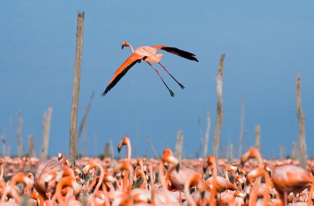 De grootste kolonie van de caribische flamingo. reserveer rio maximã â °. cuba.