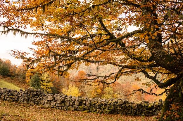 De grote boom in de herfstpark.